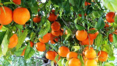Photo of البرتقال المر المذهلة للشعر والبشرة: تعرف عليها