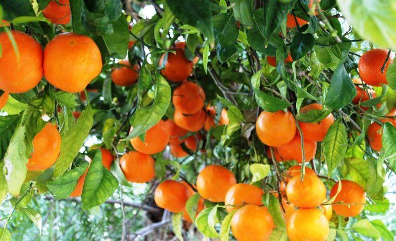 البرتقال المر